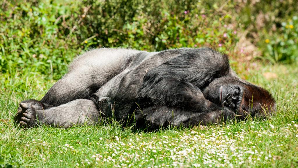 Duerme como un gorila con la tumbona autohinchable de Wonduu
